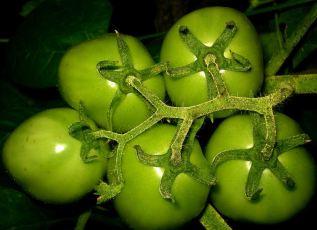 According to Wikipedia, these are green tomatoes. (CC-Wiki via User:Ks.mini)