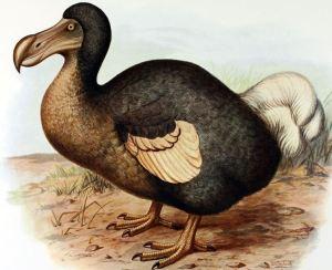 Dodo, painted by F W Frohawk, 1905