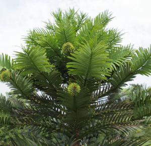Woolemia nobilis, photo by