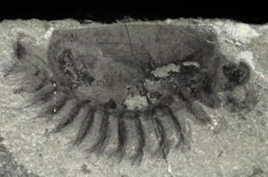 A Burgess Shale Cambrian Arthropod